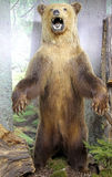 Urso marrom enchido real Foto de Stock Royalty Free