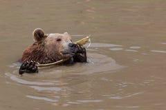 Urso marrom engraçado fotografia de stock