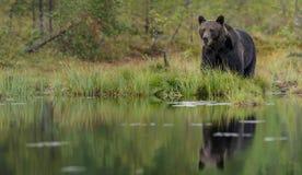 Urso marrom escuro refletido Fotos de Stock