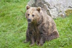 Urso marrom euro-asiático Imagens de Stock