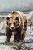 Urso marrom euro-asiático Fotografia de Stock Royalty Free