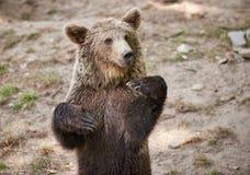 Urso marrom euro-asiático Imagem de Stock Royalty Free