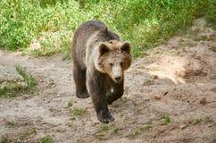 Urso marrom euro-asiático Imagem de Stock