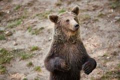 Urso marrom euro-asiático Imagens de Stock Royalty Free