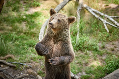 Urso marrom euro-asiático Foto de Stock