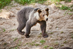 Urso marrom euro-asiático Foto de Stock Royalty Free