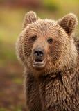 Urso marrom euro-asiático (arctos de Ursos) Imagem de Stock Royalty Free