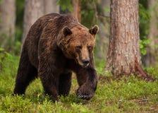 Urso marrom euro-asiático (arctos de Ursos) Fotografia de Stock Royalty Free