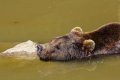 Urso marrom europeu, arctos dos arctos do Ursus, urso marrom euro-asiático que banha-se foto de stock royalty free