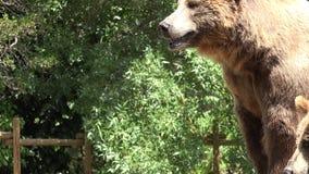 Urso marrom grande em selvagem filme