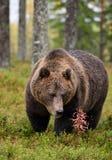 Urso marrom grande na floresta Imagem de Stock