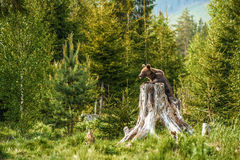 Urso marrom grande na natureza ou na floresta, animais selvagens, encontrando o urso, animal na natureza Fotografia de Stock
