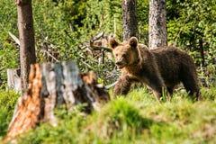 Urso marrom grande na natureza ou na floresta, animais selvagens, encontrando o urso, animal na natureza Fotos de Stock Royalty Free