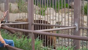 Urso marrom grande no jardim zoológico vídeos de arquivo