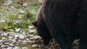 Urso marrom grande que anda através das madeiras Um urso que aspira a terra video estoque