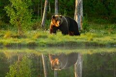 Urso marrom grande que anda em torno do lago no sol da manhã Luz bonita na floresta com animal perigoso Cena dos animais selvagen imagem de stock royalty free