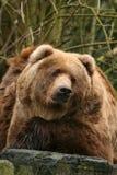 Urso marrom grande que olha o foto de stock royalty free