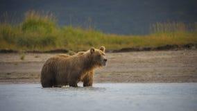 Urso marrom litoral imagens de stock royalty free