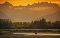 Urso marrom litoral fotos de stock