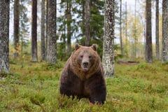 Urso marrom masculino na floresta Foto de Stock Royalty Free