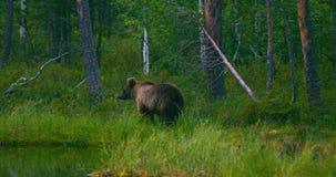 Urso marrom novo selvagem que anda na floresta que procura o alimento vídeos de arquivo