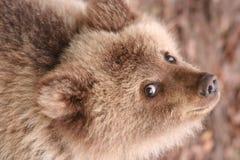 Urso marrom pequeno Fotos de Stock