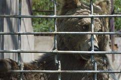Urso marrom prendido Imagem de Stock