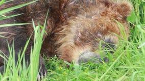 Urso marrom selvagem vídeos de arquivo