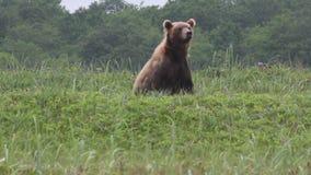 Urso marrom selvagem video estoque