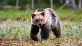 Urso marrom selvagem foto de stock