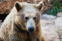 Urso marrom sírio Foto de Stock Royalty Free