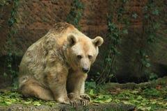 Urso marrom sírio Fotografia de Stock