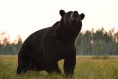 Urso masculino grande no pântano Fotos de Stock