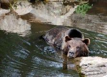 Urso na água imagens de stock royalty free