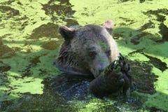 Urso na água Imagens de Stock
