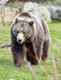 Urso na grama Foto de Stock Royalty Free