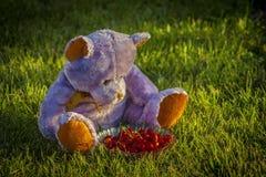 Urso na grama com cereja Fotografia de Stock Royalty Free