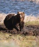 Urso na lama Fotos de Stock Royalty Free