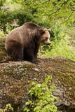 Urso na rocha Imagem de Stock Royalty Free