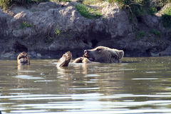 Urso nadador Imagem de Stock