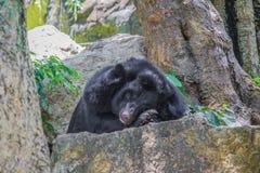 Urso nas rochas Imagens de Stock