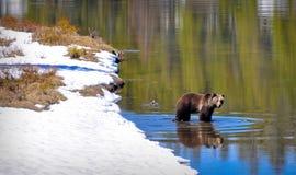 Urso no rio fotos de stock royalty free