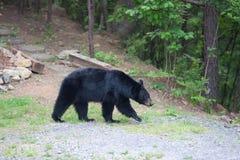 Urso no trajeto Imagens de Stock Royalty Free