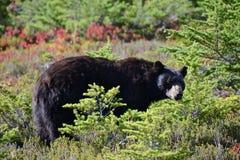 Urso olímpico imagens de stock