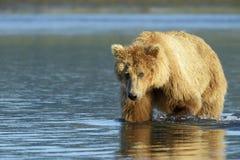 Urso pardo fotografia de stock royalty free