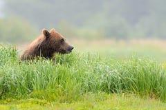 Urso pardo imagem de stock
