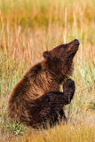Urso pardo de Alaska Brown que risca um comichão Imagem de Stock Royalty Free