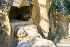 Urso pardo de Brown que senta-se em sua caverna nas montanhas com uma cachoeira bonita fotografia de stock royalty free