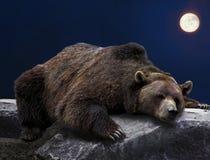 Urso pardo de sono Imagem de Stock