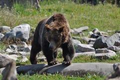 Urso pardo espreitar Imagem de Stock